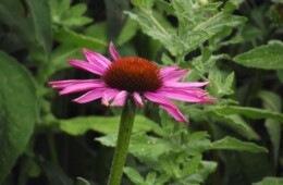 Euchinacea bloem