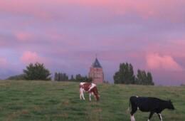 Koeien in Kemmel